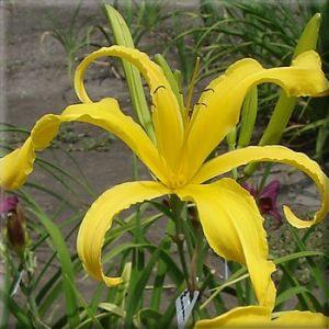 Carolicolossal
