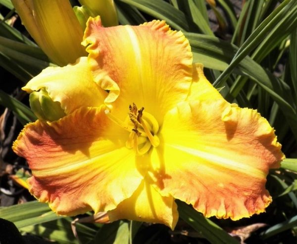 Bryler Anderson Daylily