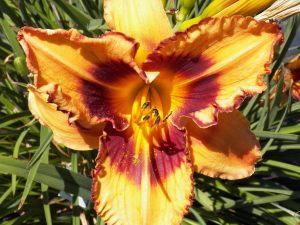 Daylily 5 Hybridized by Ken McGann
